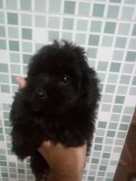 Shitzu com poodle
