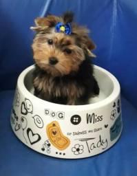 Filhote de Yorkshire Terrier - Kevin