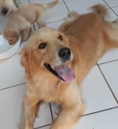 Vendo filhotes de fêmea de cachorro da raça Golden retrive