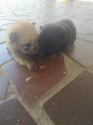 Filhotes de Chow-Chow