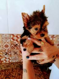 Yorkshire terrier macho disponivel