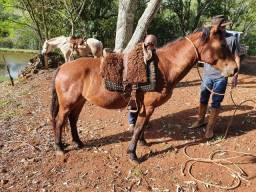 Troco égua crioula pura com registro