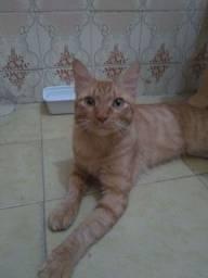 Gato macho Castrado e vacinado para adoção