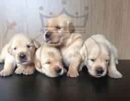 Golden retriever filhotes disponíveis para reserva