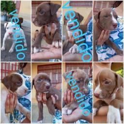 Título do anúncio: Filhotes de Pit Bull terrier disponível