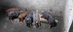 Título do anúncio: Filhote de porco pietran