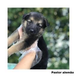 Título do anúncio: Pastor alemão com pedigree e microchip em até 12x