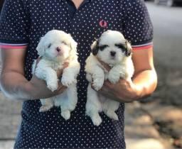 Lhasa Apso, belissimos cães !