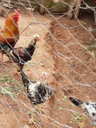Título do anúncio: Frangos caipira e galinhas branhma