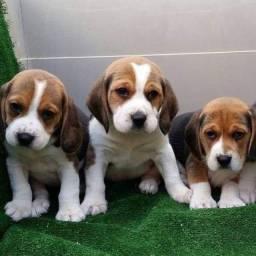Fofurinhas de beagle disponível