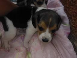 Vendo filhotes de Beagle com 30 dias vacinados.