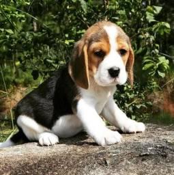 Beagle Minni Filhote com Pedigre/Garantia/Recibo