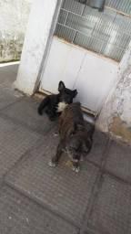Vendo casal de bull dog francês
