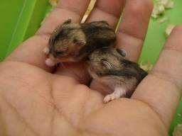 Vendo filhote de hamster