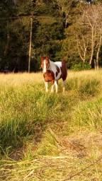 Vendo garanhao paint horse puro documentado