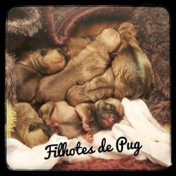 Filhotes de pug disponível pra reserva