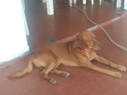 Doa-se um dog raciado Labrador com SRD