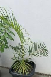 Título do anúncio: Palmeira areca-bambu