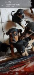 Tenho seis cachorro para a doação