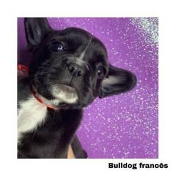 Título do anúncio: Bulldog Francês com pedigree e microchip em até 12x