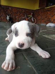 Filhote de American Bully Blue nose