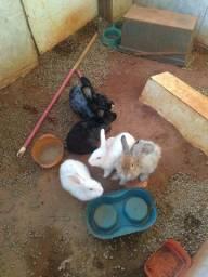 Vendo coelho vinte cinco reais