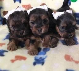 Filhotes de Yorkshire Mini Terrier Macho