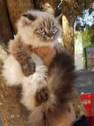 Gatos persas Fêmeas de 500 a 750