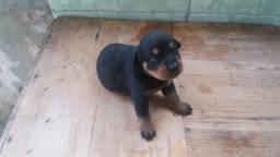 Rottweiler filhotes nascidos em 30/09\18