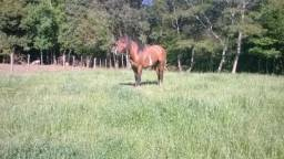 Cavalo bragado