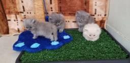 Gatinhos Persas Filhotes