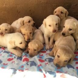 Vendo lindos filhotes de Labrador! PURO!
