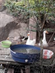 1casal de pato 1 casal de marréco 2 gança e 1 gança
