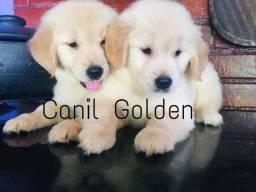 Golden Retriever Filhote com Pedigree e Garantia de Saúde