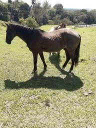 Vendo ótimo cavalo manso