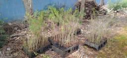Mudas de Melaleuca artenifolia