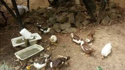 Estou vendendo 10 patos, 8 fêmeas e 2 machos todos bem criados