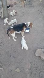 vende-se filhotes de beagle