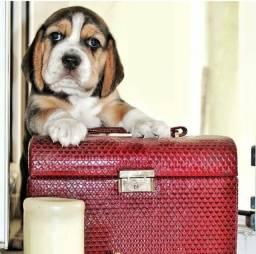 + Lindos beagle filhote 13 polegadas com pedigree e vacina importada