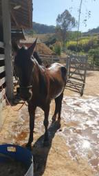 Cavalo inteiro marcha picada preto