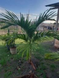 Vendo Palmeira 200