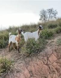 Título do anúncio: Vendo duas cabras R$ 1.200,00
