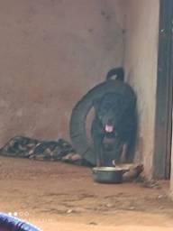 Cachorra rottweiler