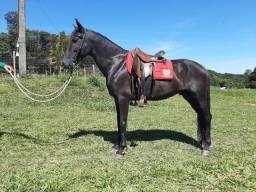 Cavalo registrado Mangalarga Marchador