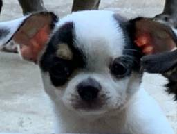 Chihuahua machinho