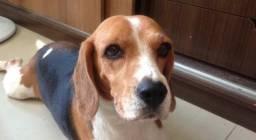 Beagle a procura de um namorado. Idade: 3 anos