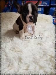 Lindos Bulldog francês c/ pedigree
