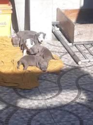 Vendo filhote Pit bull