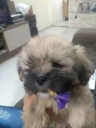 Filhotes de cachorro raça Lhasa Apso