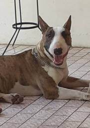 Bull Terrier disponível para(cobertura)